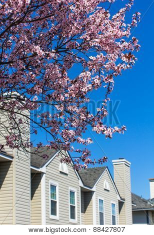 Blossoming Cherrytree And Typical American Houses On The Background
