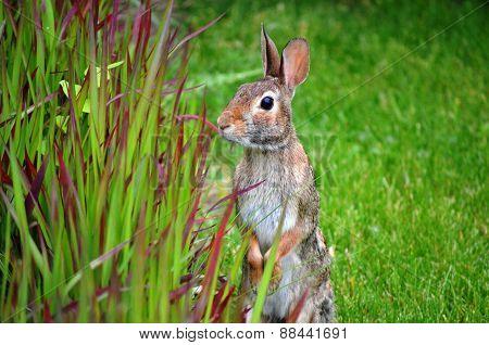 Adult Rabbit in the Garden