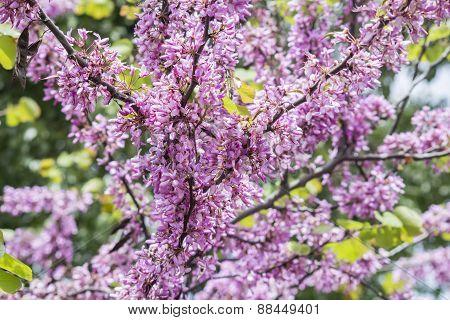 Judas Tree Flower (cercis Siliquastrum)