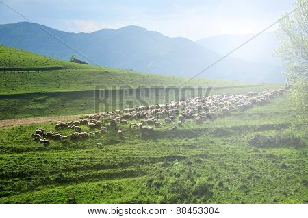 Flock Of Sheep In The Meadow. Romania