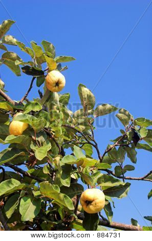 Plant A Quince 2