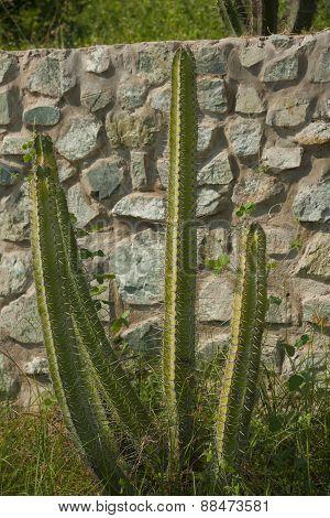 Giant cactus in the garden