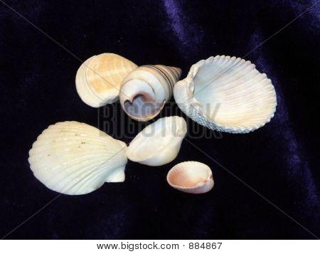 Shells On Velvet