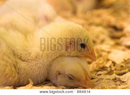 Yellow Chick Resting