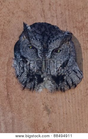 Western Screech-owl Peering Out From Within A Nesting Box