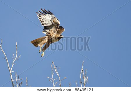 Red-tailed Hawk Flying In A Blue Sky