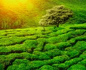 Lonley tree on tea plantation in the Cameron Highlands, Malaysia poster