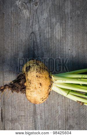 Freshly harvested turnips