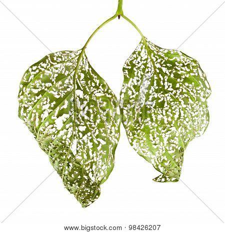 Macro Of Leaves Chewed By Vermin