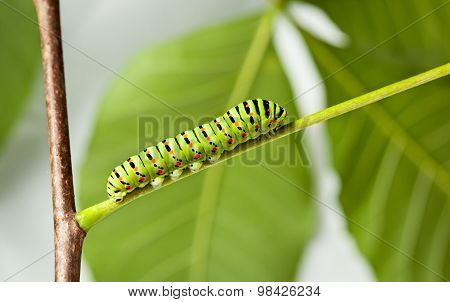 Side View Of Green Caterpillar In  Garden