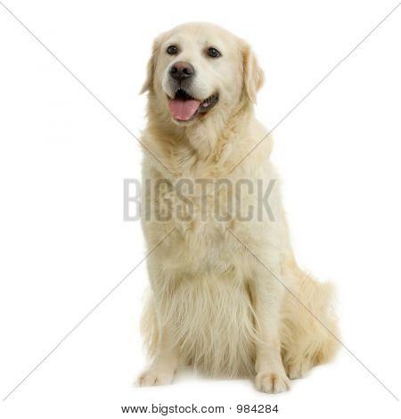 golden retriever adulte assis devant un fond blanc poster