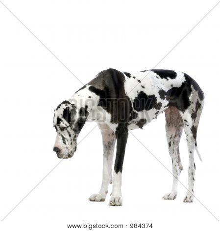 Great Dane Harlequin