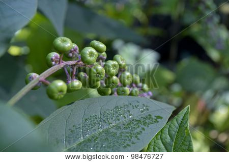 Poke Weed (Phytolacca Americana) plant in the garden poster
