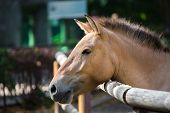 Close-up portrait of Przhevalski's horse in the zoo. Shot of beautiful brown horse with short juba in profile. poster