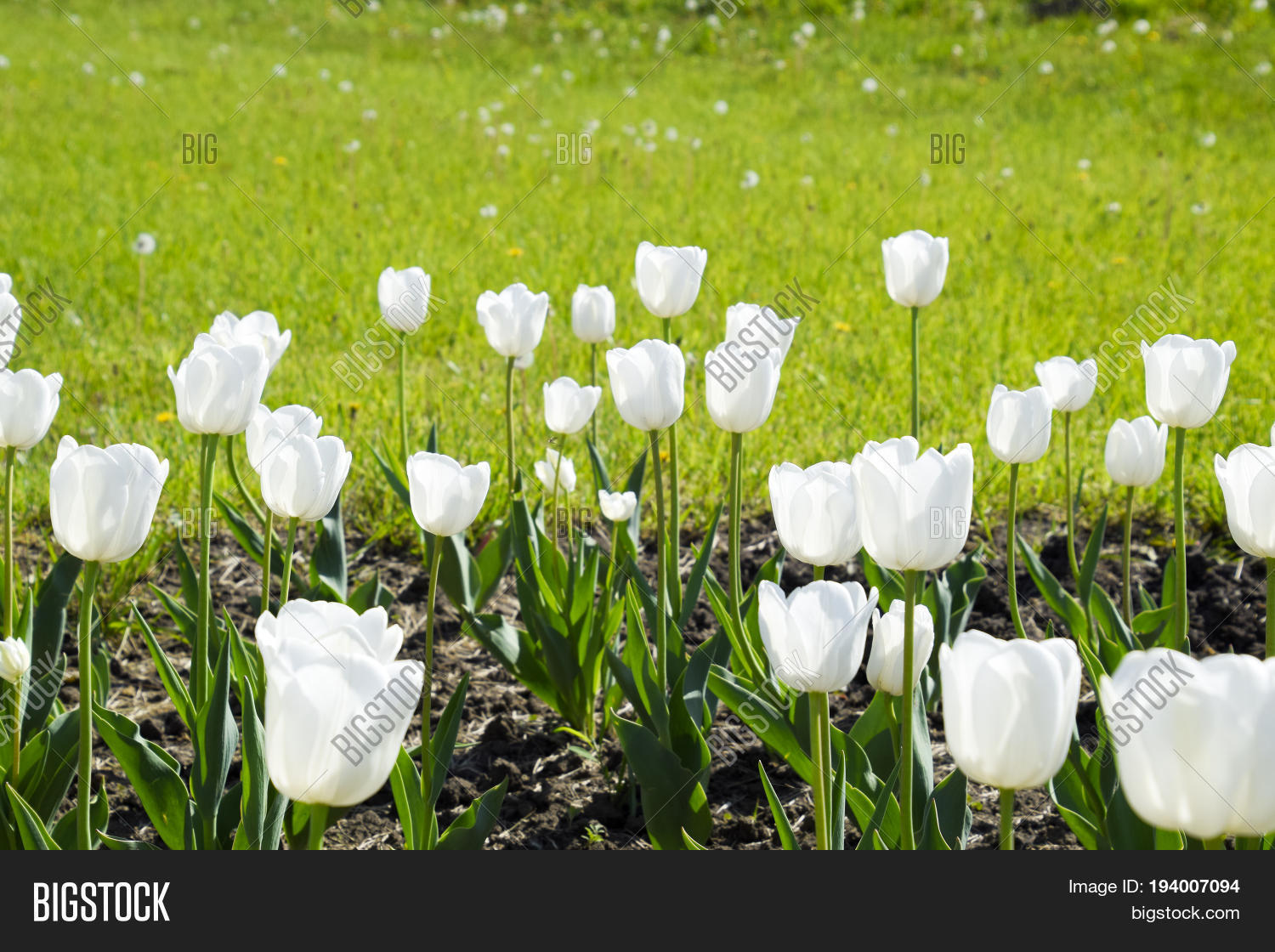 Flower Bed White Image Photo Free Trial Bigstock