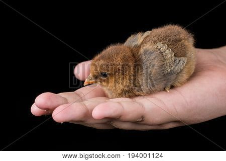 Brown little baby chicken in the hand with black background