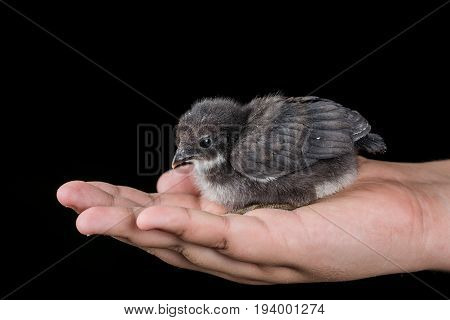 Black little baby chicken in the hand with black background