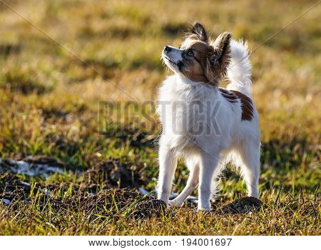 a cute papillon dog in the nature