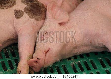 Piglet sleeping on slatted floor in a farm