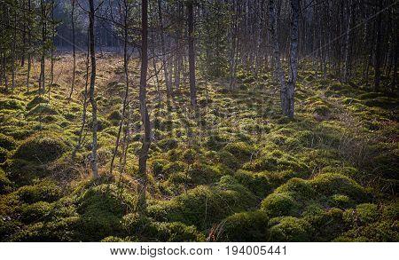 peat bog in the national park Sumava Europe