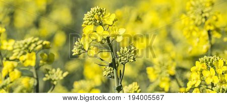 rape plant (canola rapeseed) in detail on field