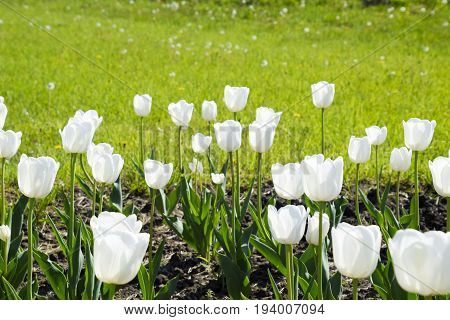 A Flower Bed With White Tulips. White Tulips, Bulbous Plants. White Flowers