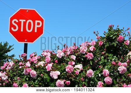 A red stop sign in a flower bed of roses,but don't forget to stop