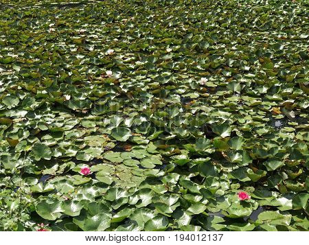 Background of many water lilies with lily pad leaves and pink lily flowers. Space for text.