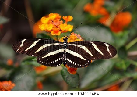 A Zebra butterfly lands on a flower in the gardens for some nectar.