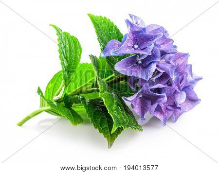 Branch blue hydrangea with green leaf. Bunch flower, isolated on white background.