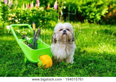 Cute shih tzu dog in summer garden with wheelbarrow and tools