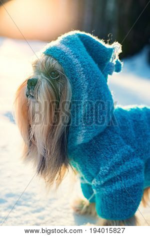 Shih tzu dog in blue knitted sweater with hood winter outdoors portrait