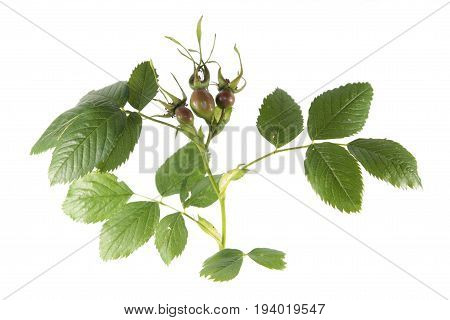 Branch of dog-rose with green leaves and rose hips isolated on white background. Unripe green rose hips from dog-rose (Rosa canina) isolated on white
