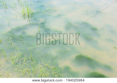 Green algae under the Turbid water background in field