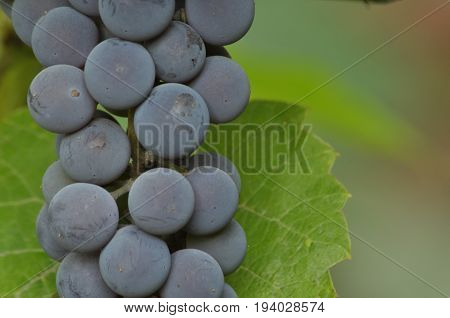 Bunch of purple grapes hanging on the vine on a background of green leaves.