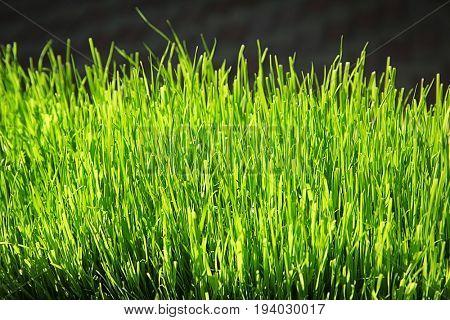 Closeup view of green grass