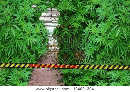 Illegal marijuana plantation with police barrier with inscription in English Crime Scene do not cross.