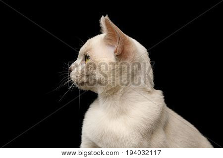 Portrait of Lilac Burmese Young Kitten isolated on black background, profile view
