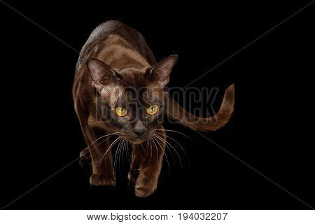 Playful Sable Burmese Cat Crouch and Looking down, hunt on isolated black background