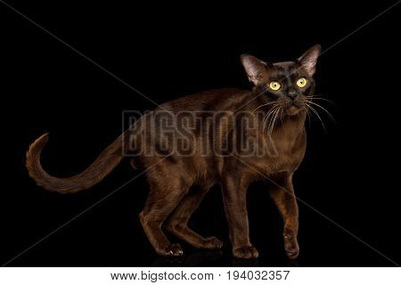Playful Sable Burmese Cat with tail isolated on black background, side view