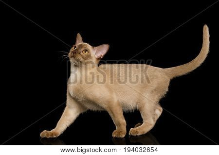 Playful Chocolate Burmese Cat Looking up with tail isolated on black background, side view