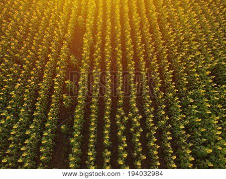 Aerial view of sunflower field in summer sunset cultivated agricultural crops from drone point of view
