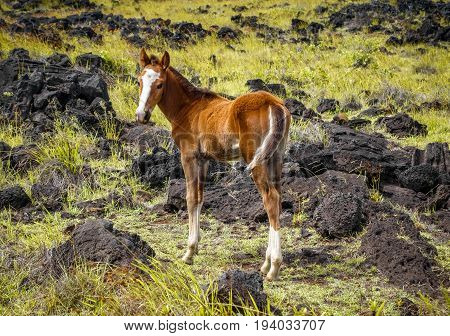 Horse in easter island field pacific ocean Chile