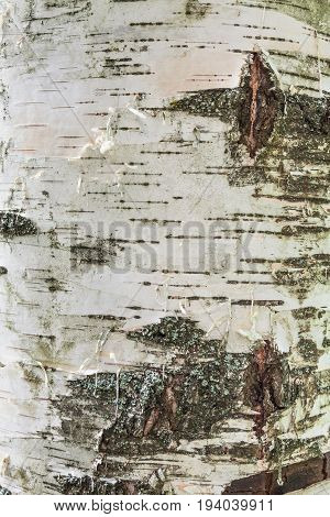 birch bark texture natural background paper close-up birch tree wood texture birch tree bark pattern of birch bark birch bark closeup natural birch bark background birch bark.