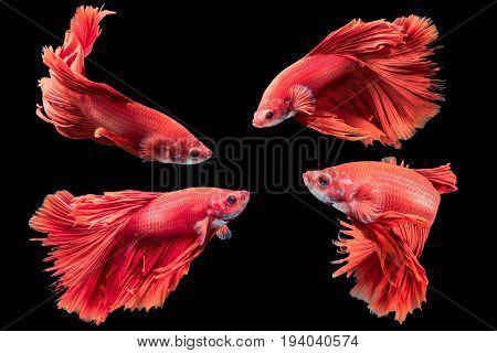 Red Siamese Fighting Fish, Betta Splendens Isolated