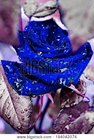 Beautiful close-up rose on bush in garden with water drops. Bud of blue rose with water after rain background. Blue rose petals with rain drops closeup