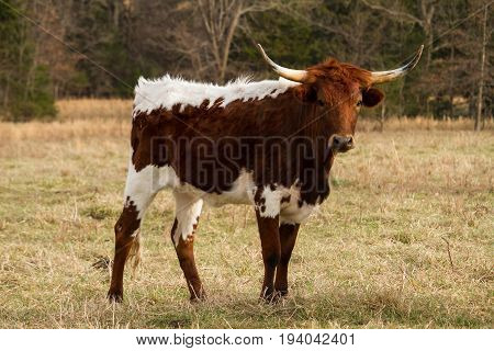 Young Texas Longhorn Cow posing in a field looking at the viewer