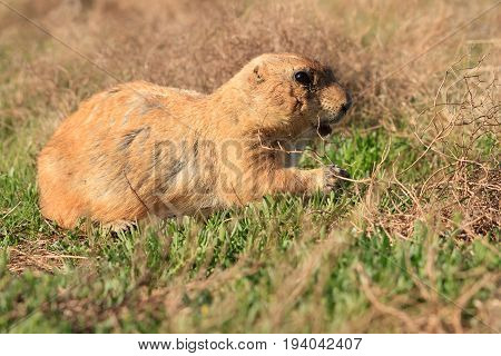 Prairie Dog walking through a grassy field.