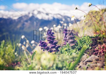 Wildflowers, Close-up, Blooming In The Alpine Meadow