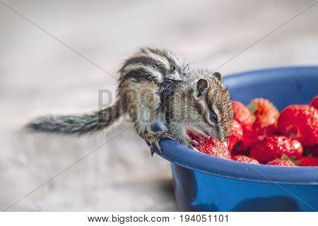 Eastern Chipmunk eating a strawberry on a blue bowl